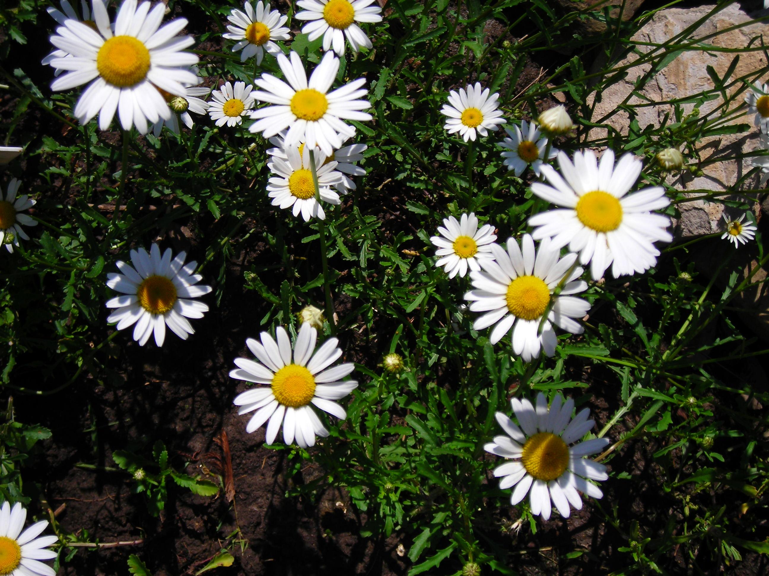 Wild daisies are sweet garden flower for western new york Where did daisies originate