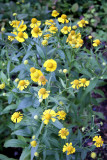 sneezeweed is recommended for WNY gardens