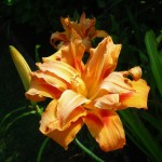 Lancaster double tiger lily