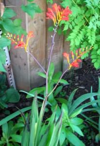 Lucifer crocosmia Orchard Parkway Garden Walk Niagara Falls