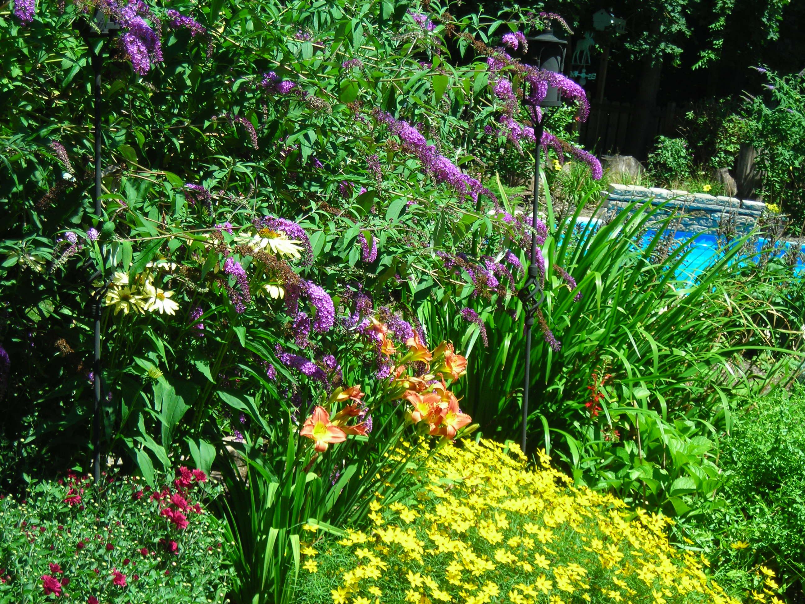 butterfly bush frames pool Buffalo NiagaraGardeningcom