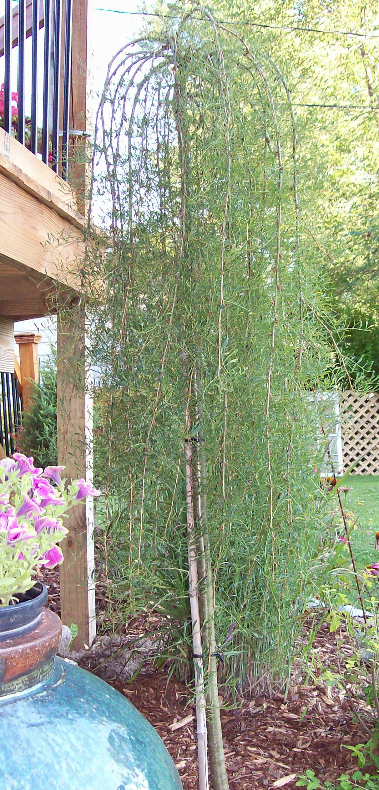 cutleaf weeping peashrub organic gardening