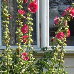 hollyhocks Lancaster garden