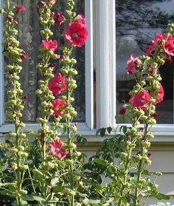 hollyhocks Lancaster garden