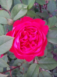 Benjamin Britten rose organic gardening for Western New York