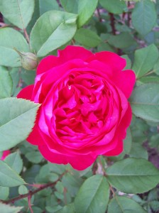 Benjamin Britten rose organic gardening for Western New York