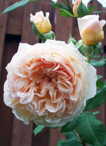 Crown Princess Margareta rose organic gardening in Western New York