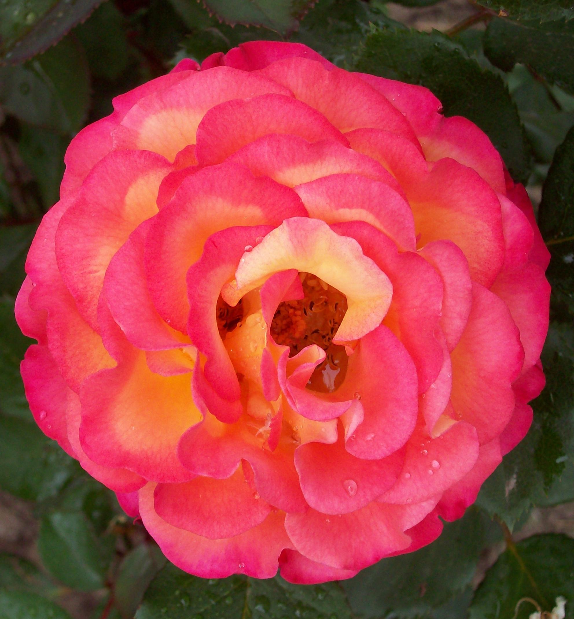 Rosa Dream Come True organic gardening in Western New York
