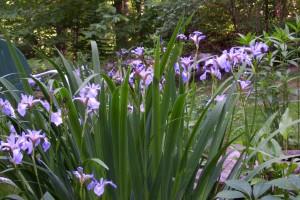 blue flag iris sale to benefit WNY Land Conservancy