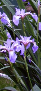 blue flag iris sale to benefit WNY Land Conservancy