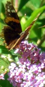 butterfly in Buffalo garden