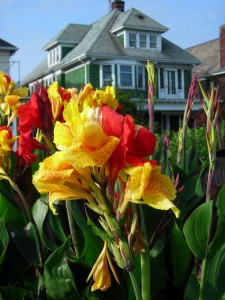 canna lily Minnesota Ave Buffalo NY