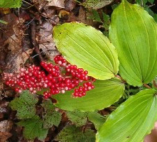 false Solomon's seal berries sale to benefit WNY Land Conservancy