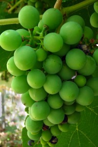 grapes in Buffalo