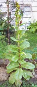 lettuce organic gardening