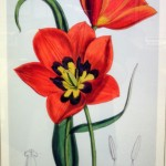 tulip from garden exhibit in rare books in Buffalo