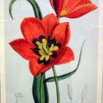 tulip from garden exhibit in rare books in Buffalo