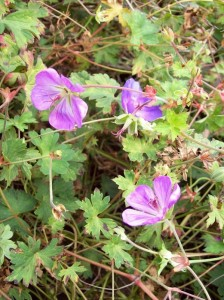 Geranium Rozanne for fall color in your garden