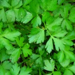 Italian parsley in garden at Kenmore Mercy in Kenmore, NY