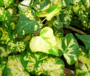 Midas Touch ivy on display in Buffalo