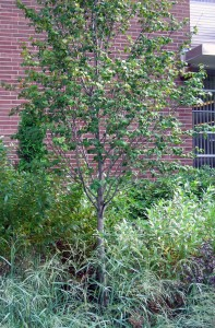 Serviceberry in Buffalo rain garden