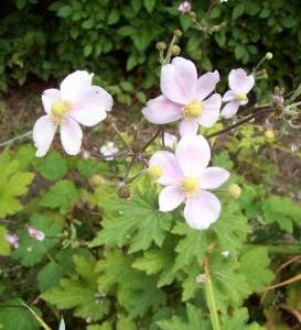 anemone robustissima