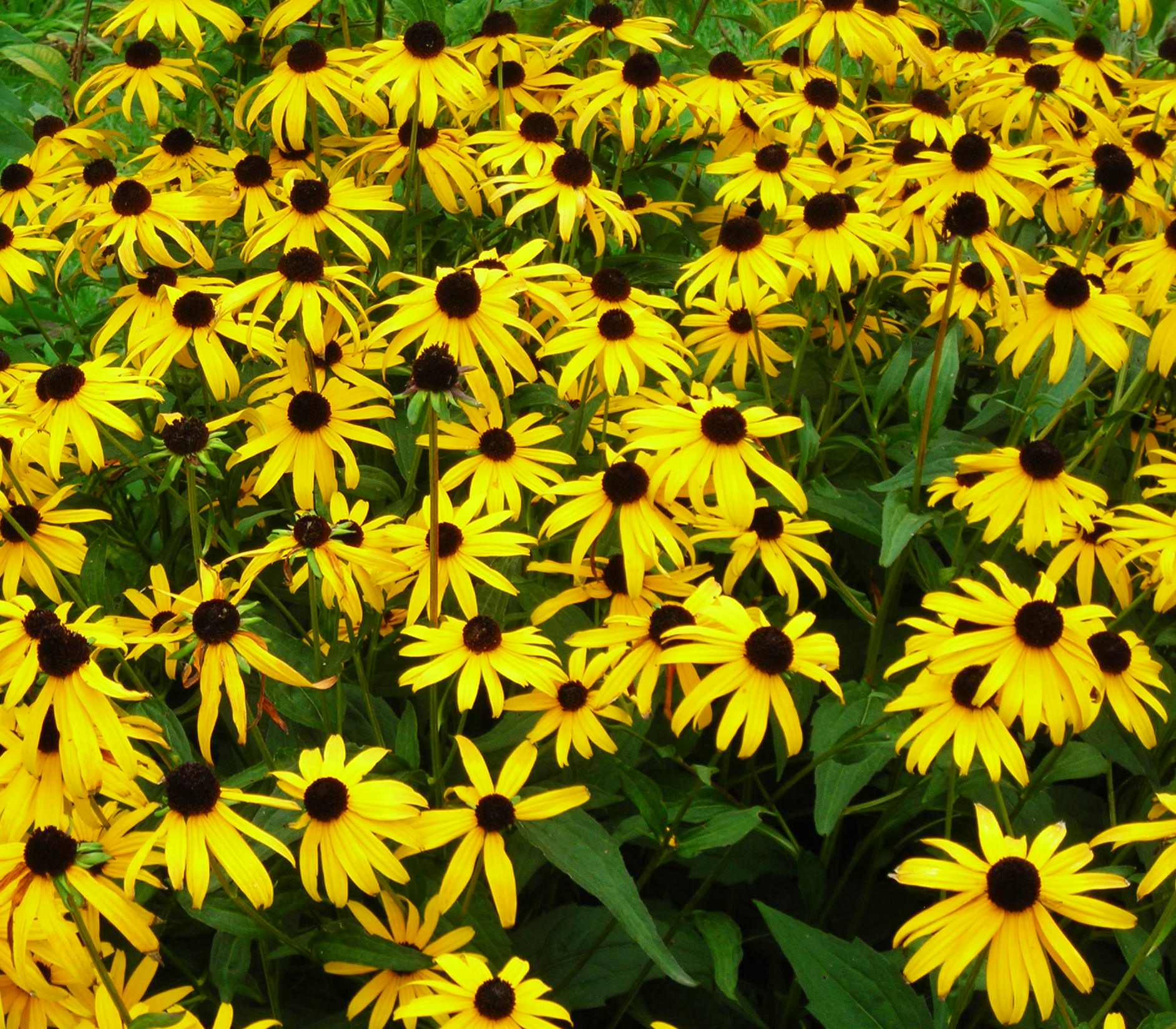 Black Eyed Susan Buffalo