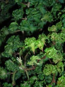 filigran ivy on display in Buffalo
