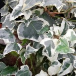 glacier winter hardy ivy on display in Buffalo