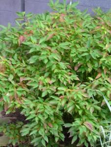 Grey Dogwood in Buffalo rain garden