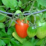 plum tomatoes in Kenmore Mercy roof garden