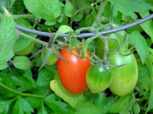 plum tomatoes in Kenmore Mercy roof garden