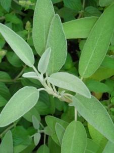 sage in Kenmore Mercy Hospital herb garden