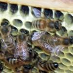 beekeeping in Buffalo