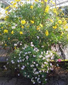 frost-tolerant annuals container