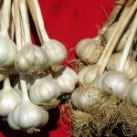 garlic in Buffalo area