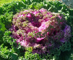 kale in Amherst NY