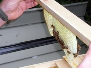 lifting out honeycomb in Buffalo NY garden