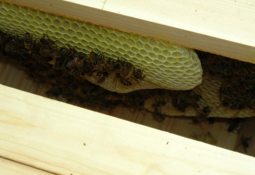 Get a look inside a bee hive in Buffalo - Buffalo