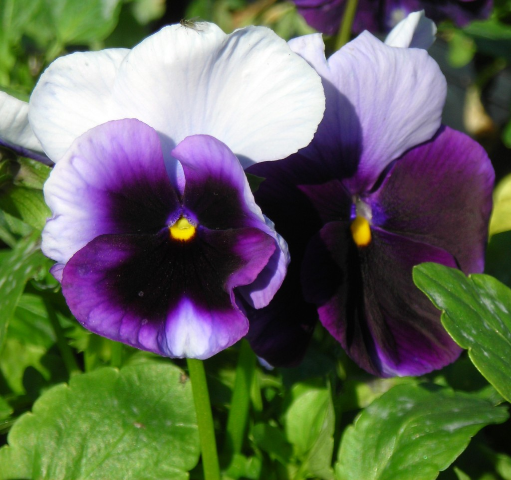 pansy in Buffalo