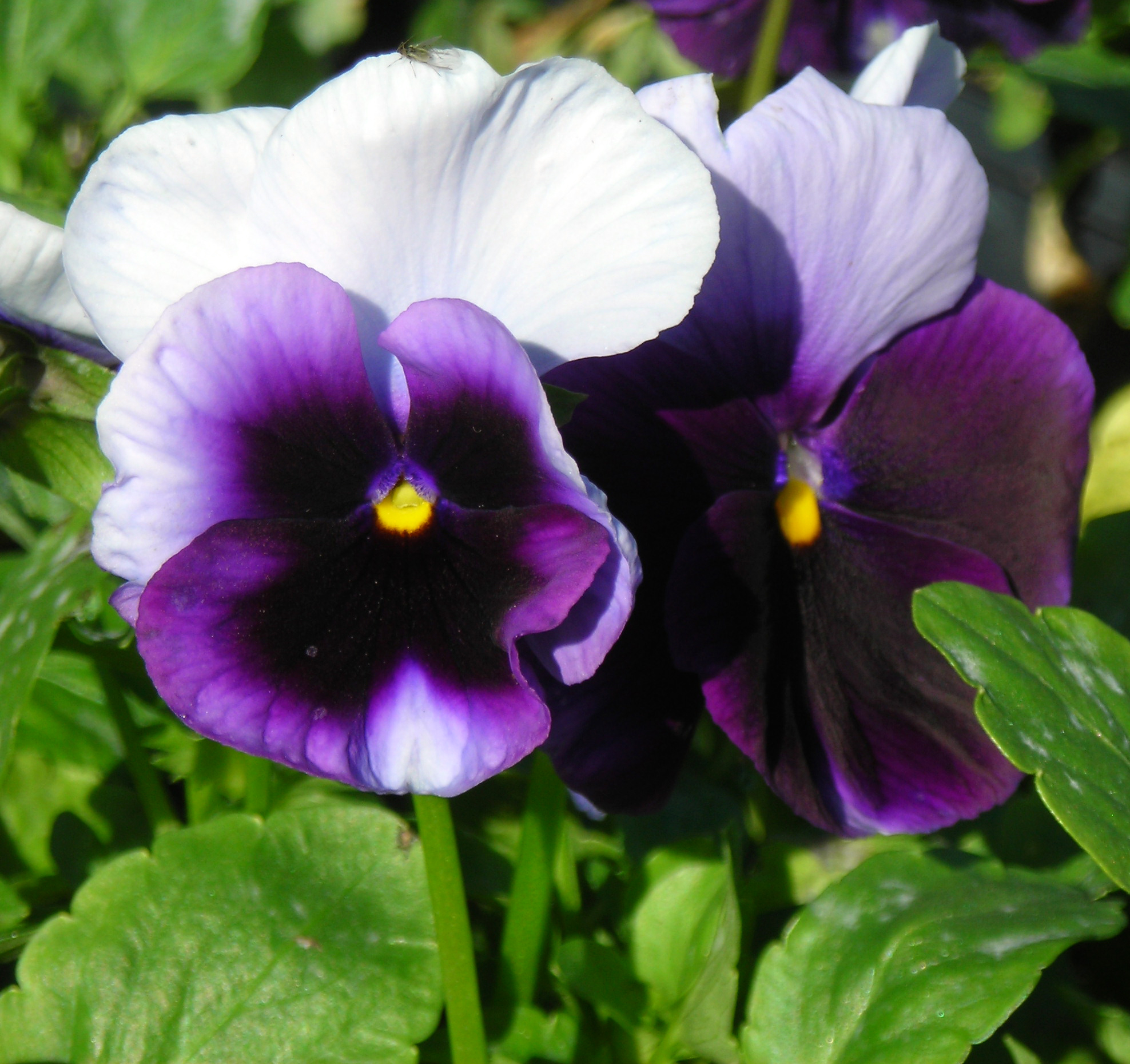flowers for outside right now  pansies  more cool
