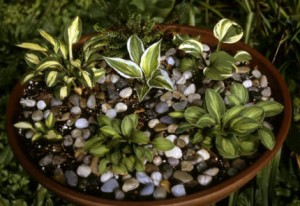 Intrigued By Little Hostas Here Are Tips On Caring For Them