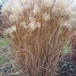 Miscanthus sinensis 'Morning Light' in Amherst NY