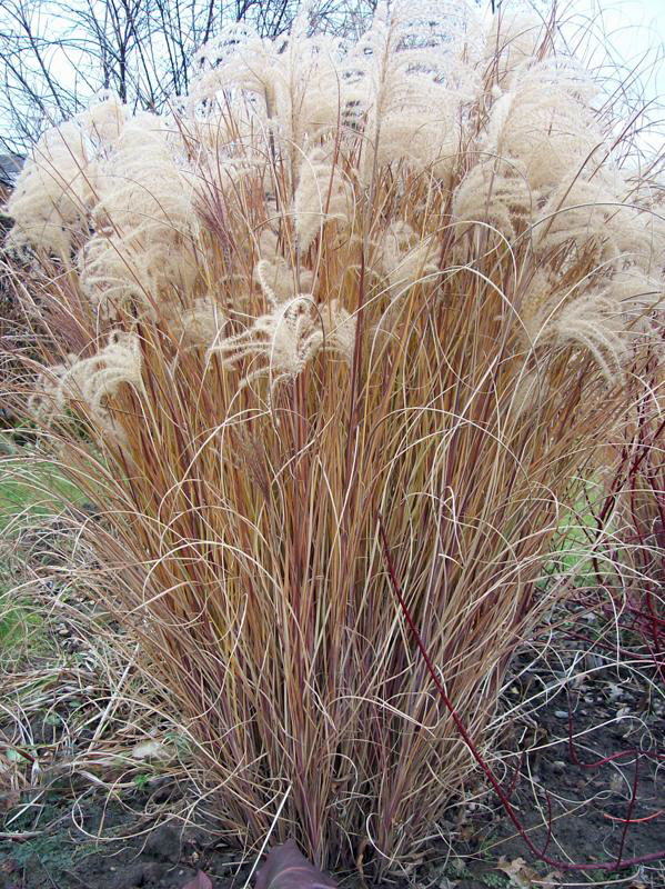 Miscanthus sinensis morning light in amherst ny pictures