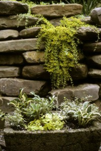 Trough of little hostas against stone wall