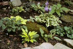 little hostas in a sloping raised bed by Mike Shadrack