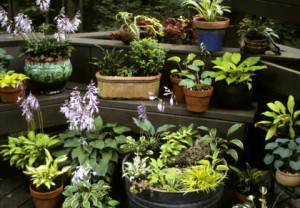 little hostas in containers by Mike Shadrack