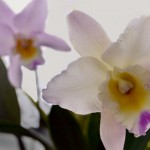 Laeliocattleya Puppy Love