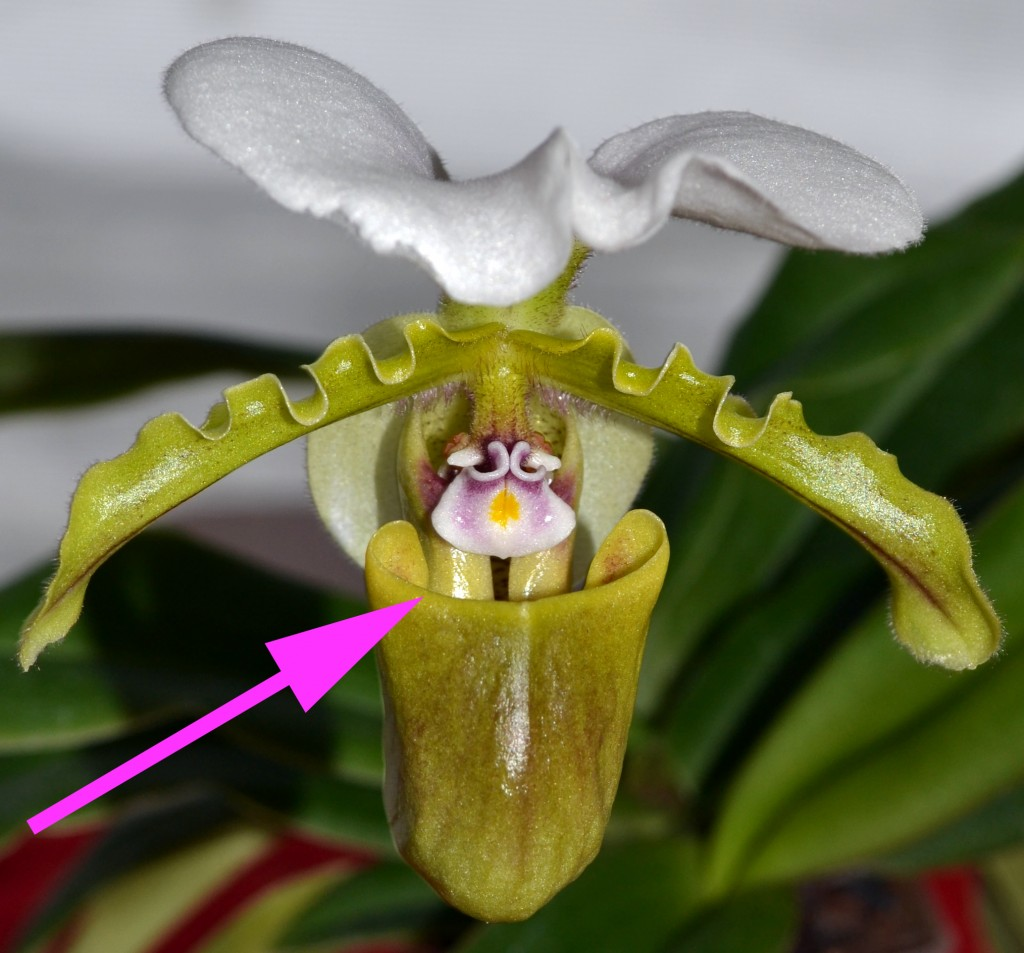 Asian slipper orchid