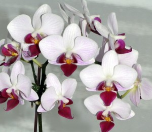 moth orchid or phalaenopsis close up